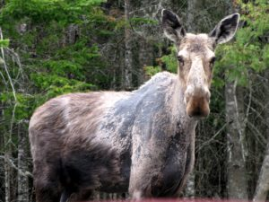 left option 1 moose_home_life-in-maine_vacationland-living-in-maine